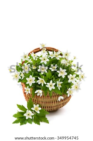 Beautiful bouquet of Anemone nemorosa (common names: wood anemone, windflower, thimbleweed, and smell fox) in the basket on white background - stock photo
