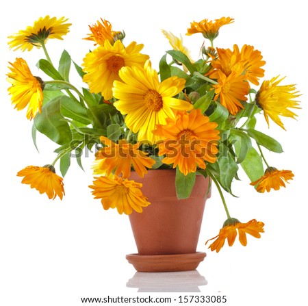 beautiful bouquet of flower calendula officinalis in ceramic flowerpot Isolated on white background - stock photo