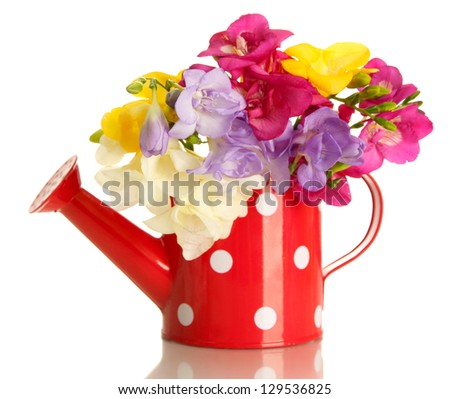 Beautiful bouquet of freesias in watering can, isolated on white - stock photo