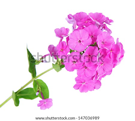 Beautiful bouquet of phlox isolated on white - stock photo