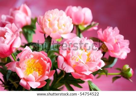 beautiful bouquet of pink peony - stock photo