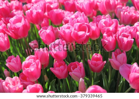 Beautiful bouquet of pink Tulips in Spring Flora Natural Concept field - stock photo