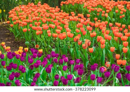 Beautiful bouquet of tulips, colourful tulip