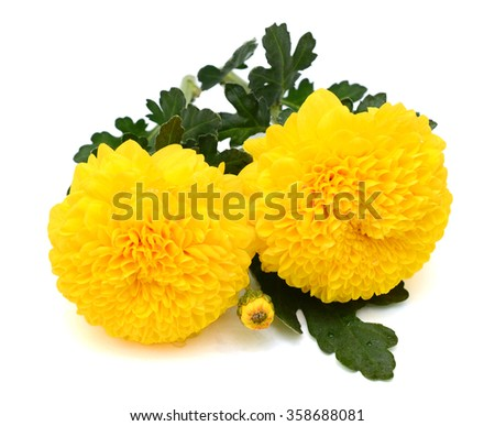 beautiful bouquet of yellow daisies flower isolated on white background - stock photo