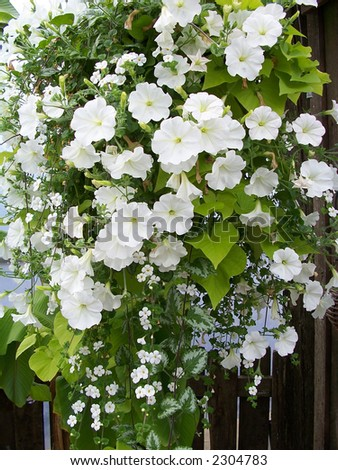 Beautiful bouquet with white petunias and other flowers decorating wall in greenhouse . - stock photo