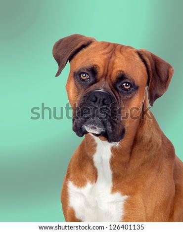 Beautiful Boxer dog isolated on green background - stock photo