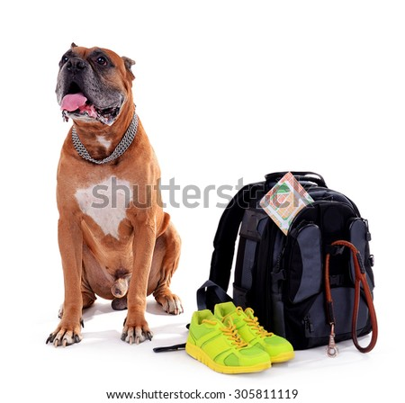 Beautiful Boxer Dog with backpack isolated on white - stock photo