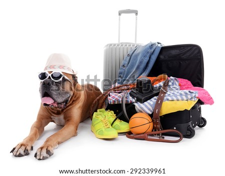 Beautiful Boxer Dog with suitcases isolated on white - stock photo