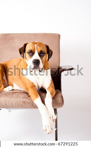 Beautiful Boxer Mix Dog Sitting in Modern Chair - stock photo