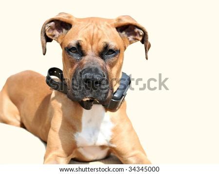 Beautiful boxer puppy - stock photo