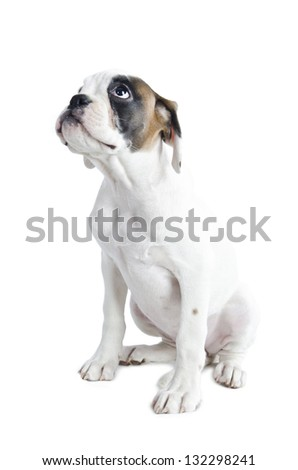Beautiful  Boxer puppy isolated on white background - stock photo