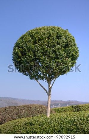 Beautiful boxwood in a landscaped garden - stock photo