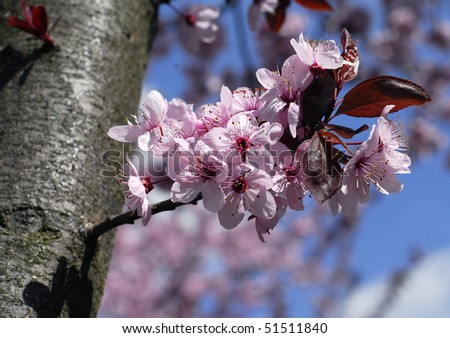 Beautiful branch of blossom pink cherry flowers in spring - stock photo