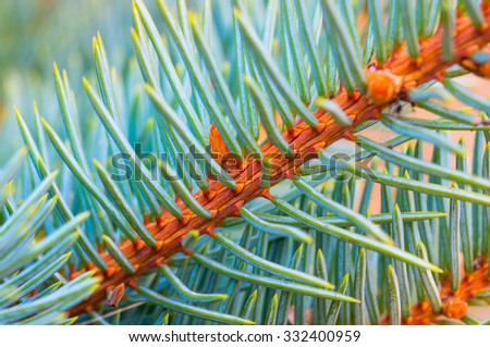 beautiful branch of blue spruce green background close