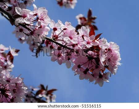 Beautiful branch of pink cherry flowers in spring - stock photo