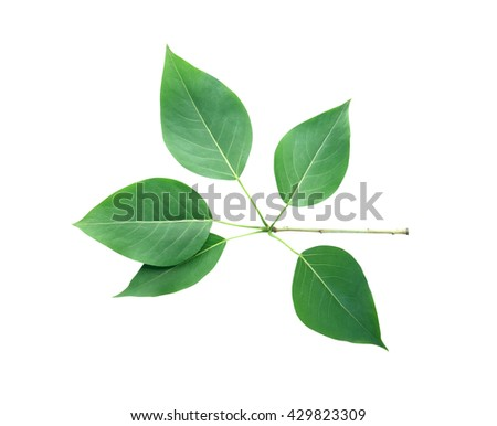 Beautiful branch with green leaves isolated on white background. Clipping path is included - stock photo