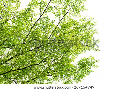 Beautiful Branches and leaves of background & texture of Terminalia ivorensis