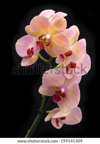 Beautiful  brick red orchid in the pot on dark background. Top view - stock photo