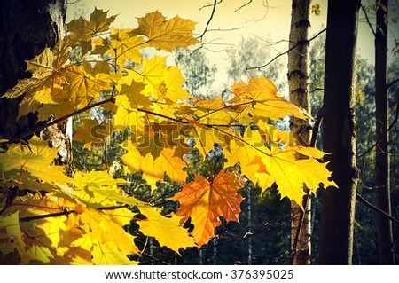 Beautiful bright autumn foliage of maple tree - stock photo
