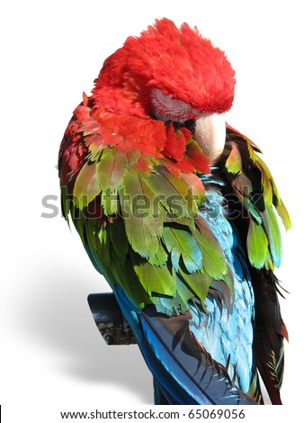 beautiful bright colored macaw parrot sleeping on a support isolated over white background - stock photo