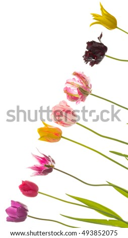 Beautiful bright colorful flowers of tulips, different unusual varieties and colors, isolated on white background on a diagonal