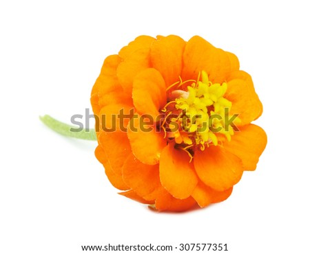 Beautiful bright flowers tsiniya isolated