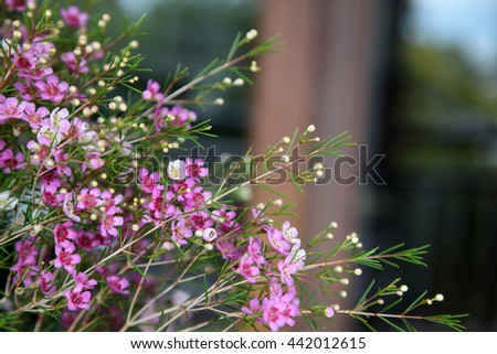 Beautiful bright pink and white wax flowers, Chamelaucium - stock photo