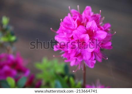 Beautiful bright pink Azalea flowers - stock photo