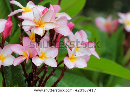 Beautiful bright pink plumeria soft on the tree.
