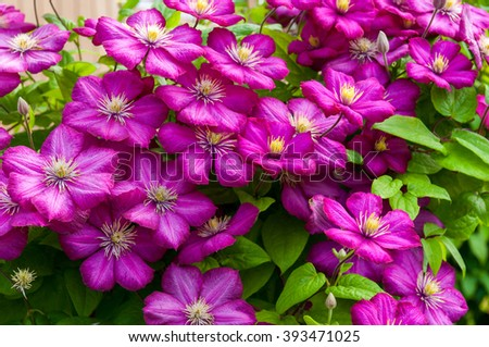 beautiful bright purple clematis flowers  - stock photo