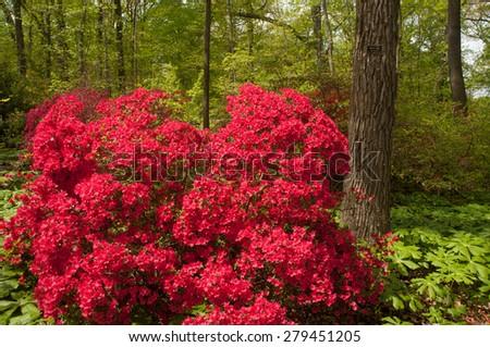 Beautiful bright red azalea bush  - stock photo