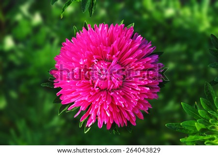 Beautiful bright red flower asters in the garden closeup on the background of green leaves - stock photo