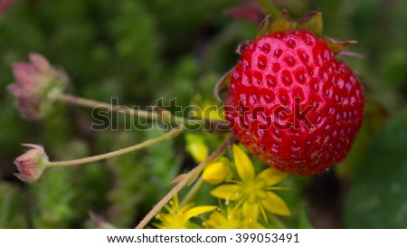 beautiful bright red tasty juicy ripe strawberry in the summer garden, on a dark green background - stock photo