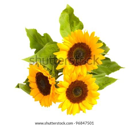 beautiful bright sunflowers isolated on white background - stock photo