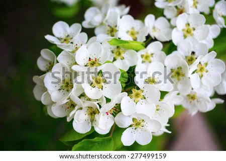 Beautiful bright white flowers and green leaves on a tree branch. Shallow depth of field. - stock photo