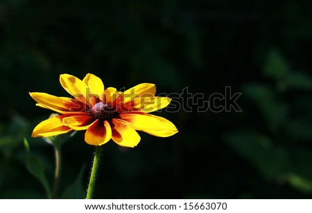 Beautiful bright yellow flower on a dark background