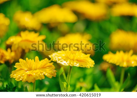 Beautiful bright yellow flowers glowing in sunlight on nature background. Garden flowers and green grass at sunny day in spring and summer. Shallow depth of field. - stock photo