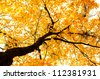 Beautiful brightly lit tree dressed in golden leaves. Fall background. - stock photo