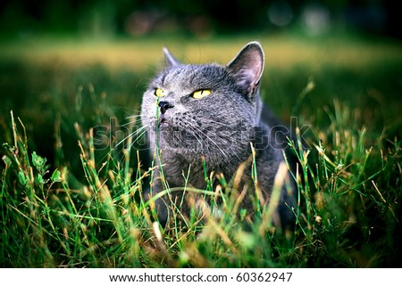 beautiful British cat lies in a green grass - stock photo