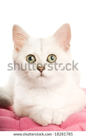 Beautiful British kitten lying on a pink pillow. Isolated on white background
