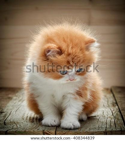 beautiful british long hair kitten sitting on wooden floor - stock photo