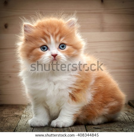 beautiful british long hair kitten sitting on wooden floor