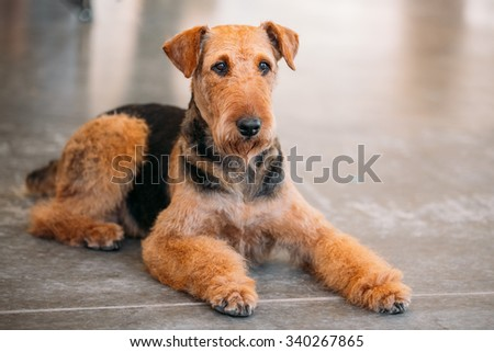 Beautiful Brown Airedale Terrier Dog - stock photo