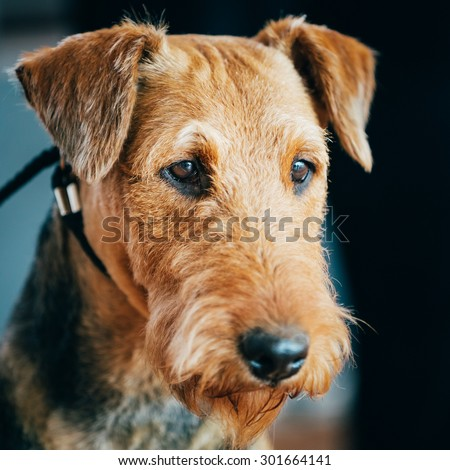 Beautiful Brown Airedale Terriers Dog Close Up Portrait. - stock photo