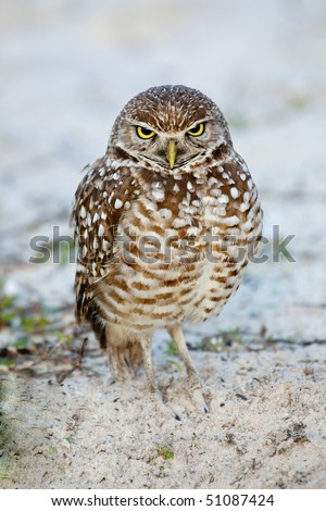 Beautiful brown and white Burrowing Owl with yellow eyes  in early morning light standing in sand, grass and weeds - stock photo