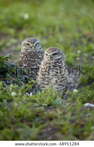 Beautiful brown and white Burrowing Owls with yellow eyes  in early morning light standing in grass and weeds - stock photo