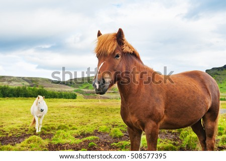 Beautiful brown and white icelandic horses in nature. Summer landscape, southern Iceland