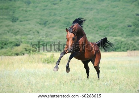 beautiful brown arabian horse playing on pasture - stock photo