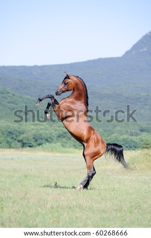 beautiful brown arabian horse rearing on pasture - stock photo