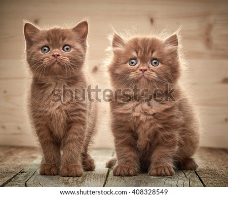 beautiful brown british kittens on wooden floor - stock photo